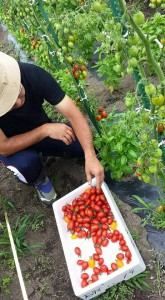 tomato2