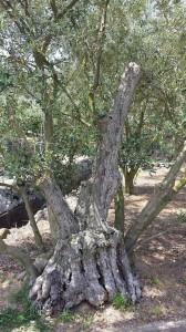 olive3
